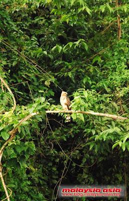 Kinabatangan River Birdwatching