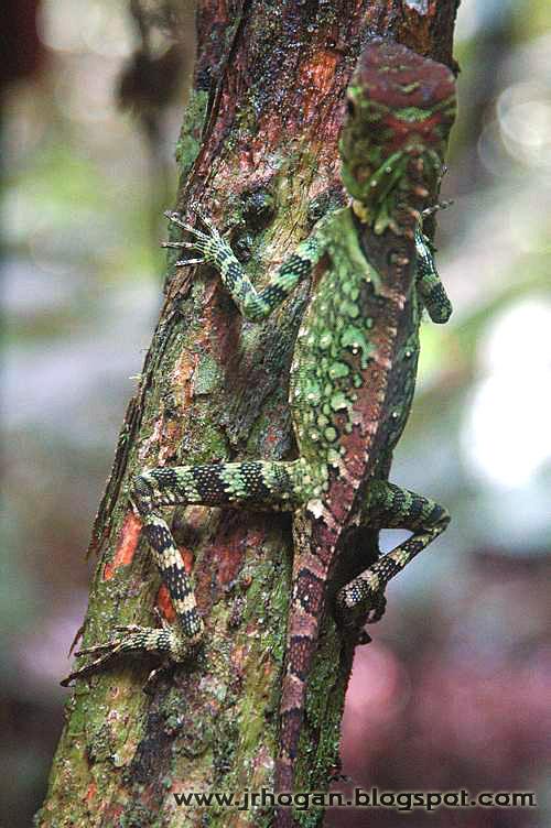 Sarawak chameleon photo
