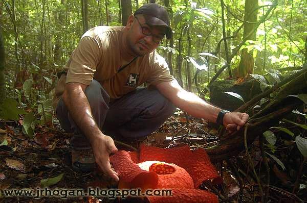 Sarawak Rafflesia Flower Photo