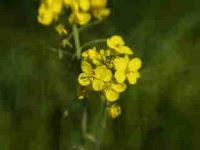 The Wild Mustard