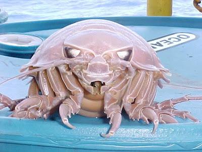 Les animaux les plus étranges Bathynomus+Giganteus