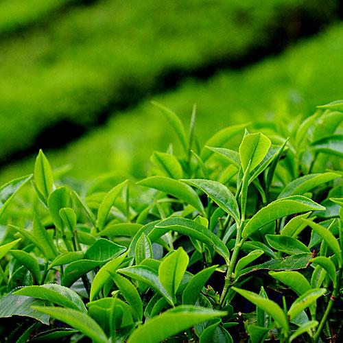 Tea fiber is natually antibacterial, odor resistant, moisture ...: textechrezvi.blogspot.com
