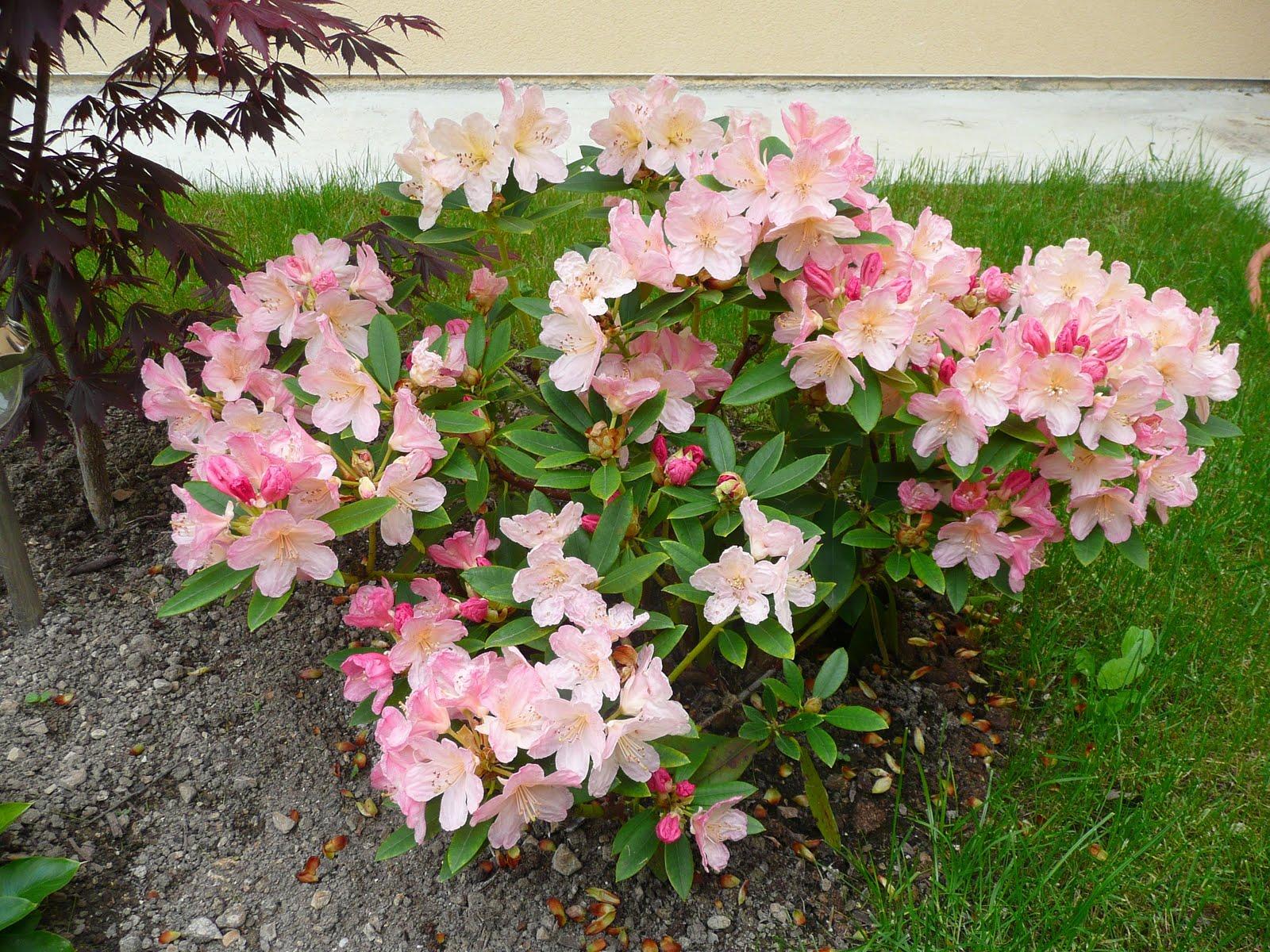 Notre jardin secret rhododendrons for Jardin secret 78
