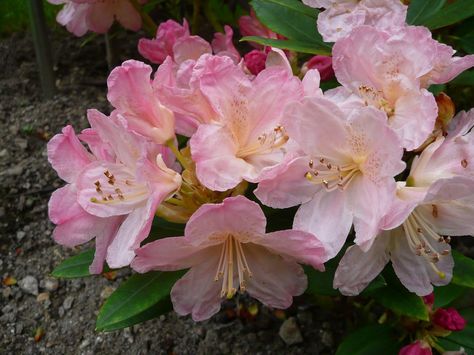 Notre jardin secret rhododendrons - Rhododendron ne fleurit pas ...
