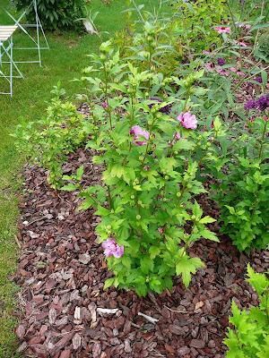 Notre jardin secret hibiscus et cosmos for Hibiscus exterieur rouge