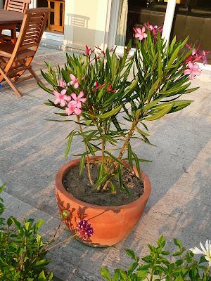 Notre jardin secret penstemon et laurier rose - Arrosage laurier rose en pot ...