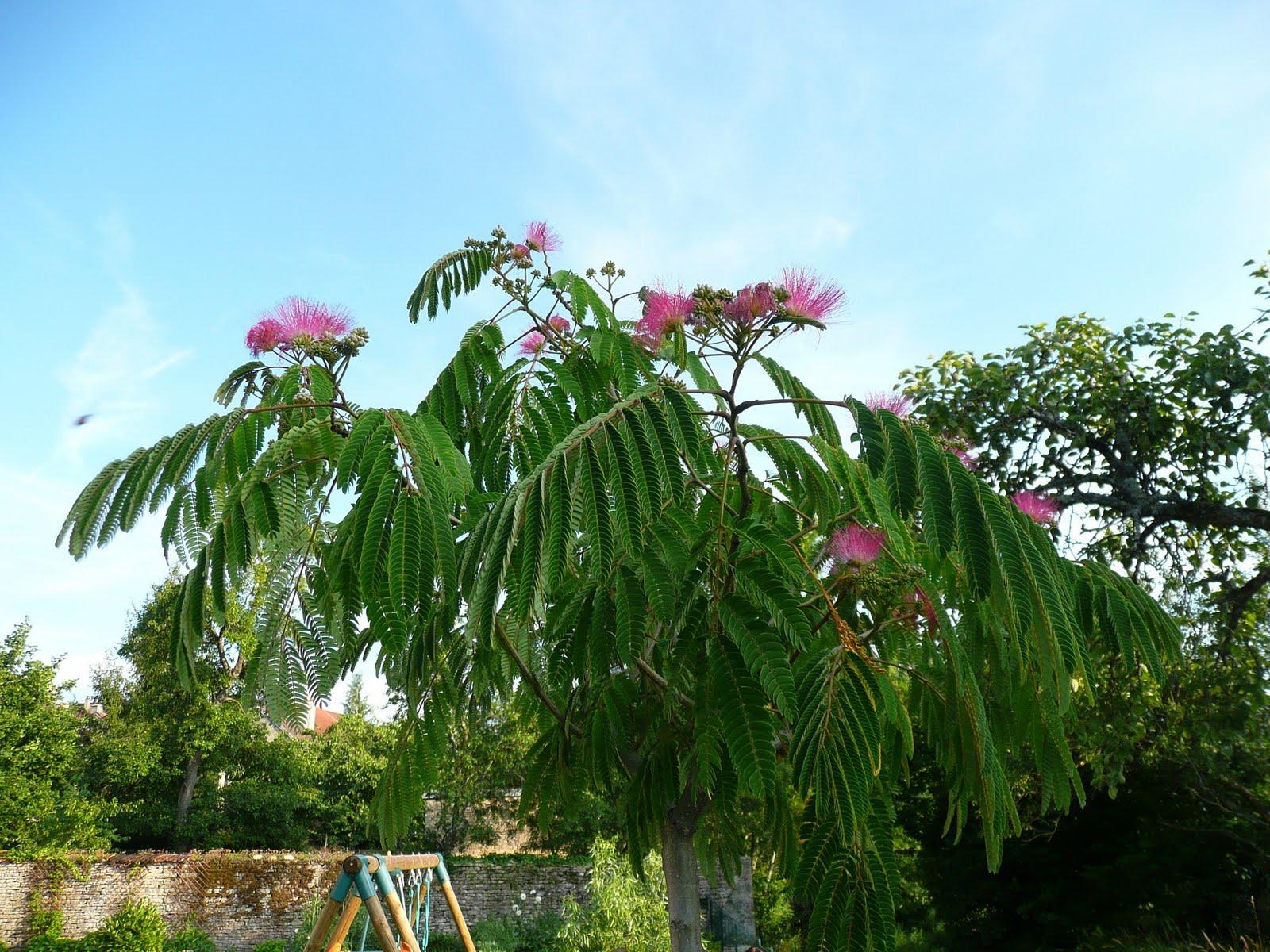 Notre jardin secret albizia julibrissim ombrella for Taille d un albizia
