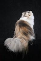 gambar_kucing_persia