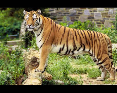 gambar_harimau_5