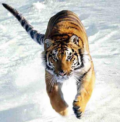 Gambar_harimau_berlari