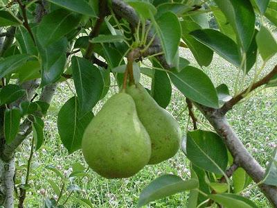 gambar buah alpukat di pohon