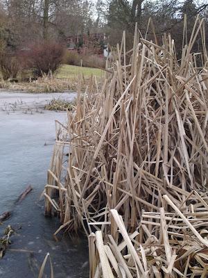 lake, reeds, ice,