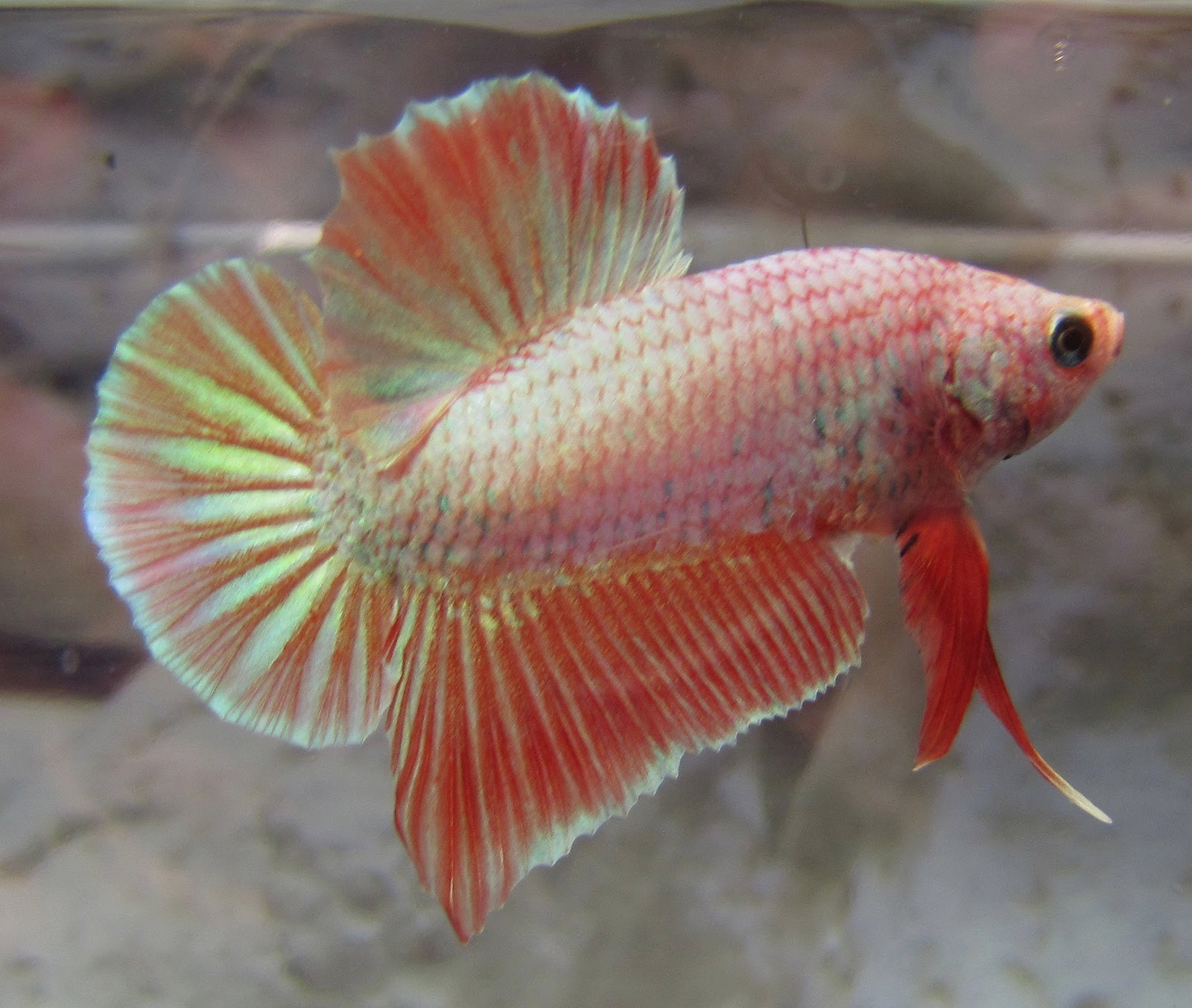 how to buy a healthy betta fish