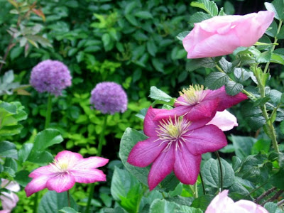 My Love Affair with Clematis: