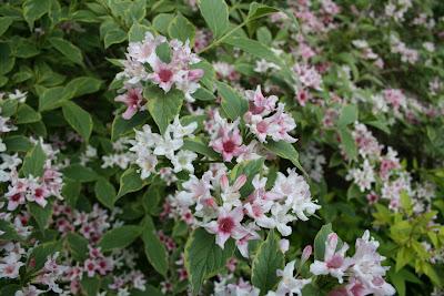 Heirloom gardener weigela pink and white spring flowering shrub on weigela pink and white spring flowering shrub on goldberry hill mightylinksfo