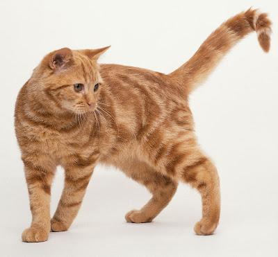 Ginger Tabby Tom Cat Desktop Background