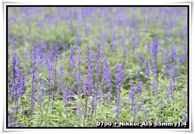 粉嶺香薰園(Lavender Garden)