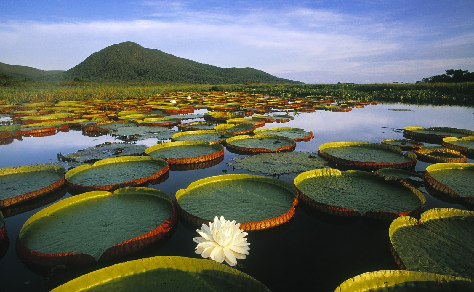 Lotus Flower in a Large River