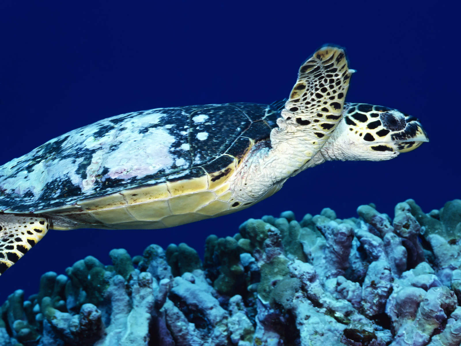 Sea Turtle Wallpaper (63)