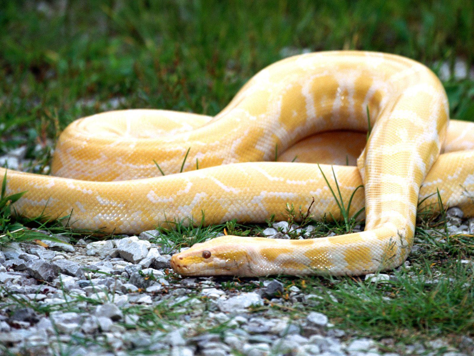 Yellow Snake Wallpaper Yellow Snake Wallpaper