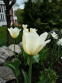 "Tulipa Purrissima ""White Emperor"""