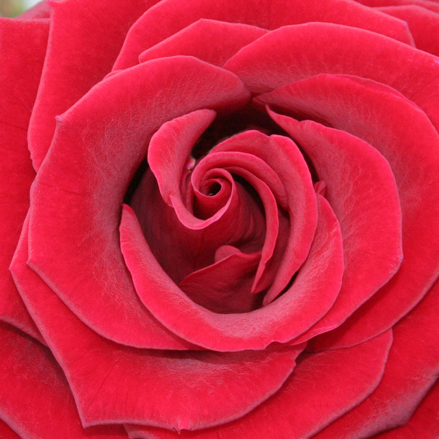 17 beautiful red rose - photo #21