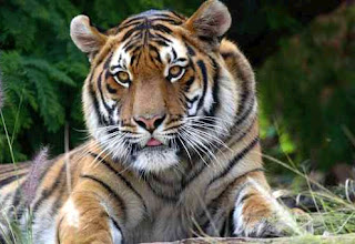 Tiger found dead near Jim Corbett National Park