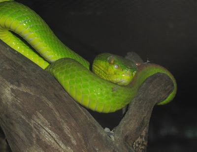 This green snake is possible a Bamboo Snake or a Tree Viper