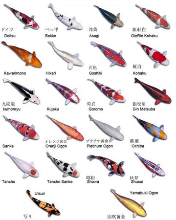 There are several types of tattoo designs in the world. types of koi fish