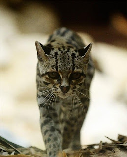 Margay Tiger Cat