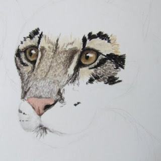clouded leopard drawing in progress in tinted charcoal