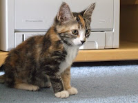 Dawn the torbie kitten