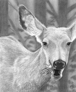 mule deer drawing