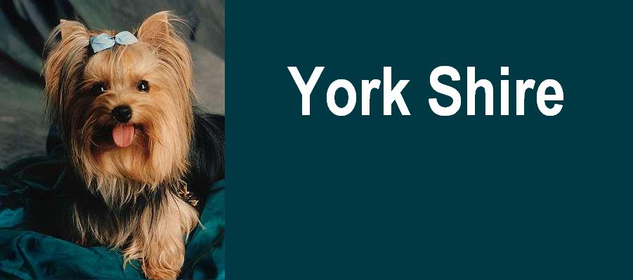 York Shire Terrier