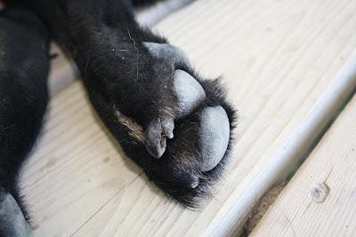 Dog Claw Turned Black