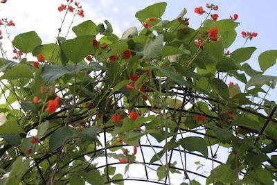 jim longs garden red noodle bean