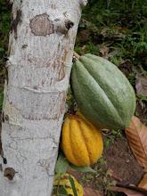 cacao maravillao