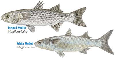 Fish identification mullet for Eating mullet fish