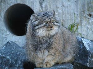 Pallas gatto (Otocolobus manul)