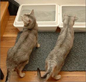 Gatto Razza Come Scegliere La Sabbia Per Gatti