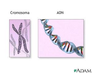 CROMOSOMA Y ADN