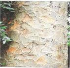 Pokok Damar Minyak