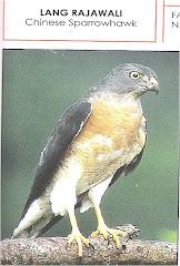 Burung Lang Rajawali