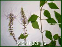 herba misai kucing