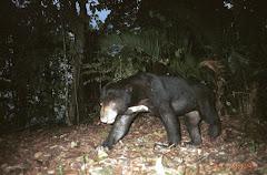 AdDubbu_Beruang di hutan