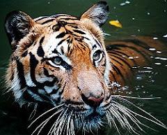 Renungan Sang Harimau_Sabaha AnNamiru