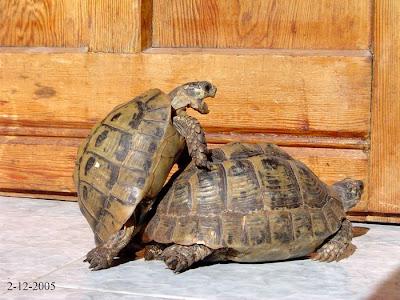 I miei racconti foto delle mie tartarughe for Accoppiamento tartarughe
