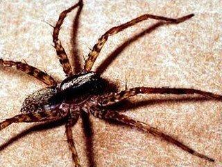 Deadliest spider in the world - photo#8