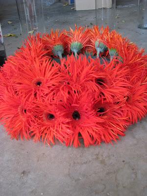 gerber daisy gerber daisy aerogarden flowers