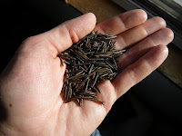 A handful of Canada Goose wild rice from Fort Assiniboine, Alberta